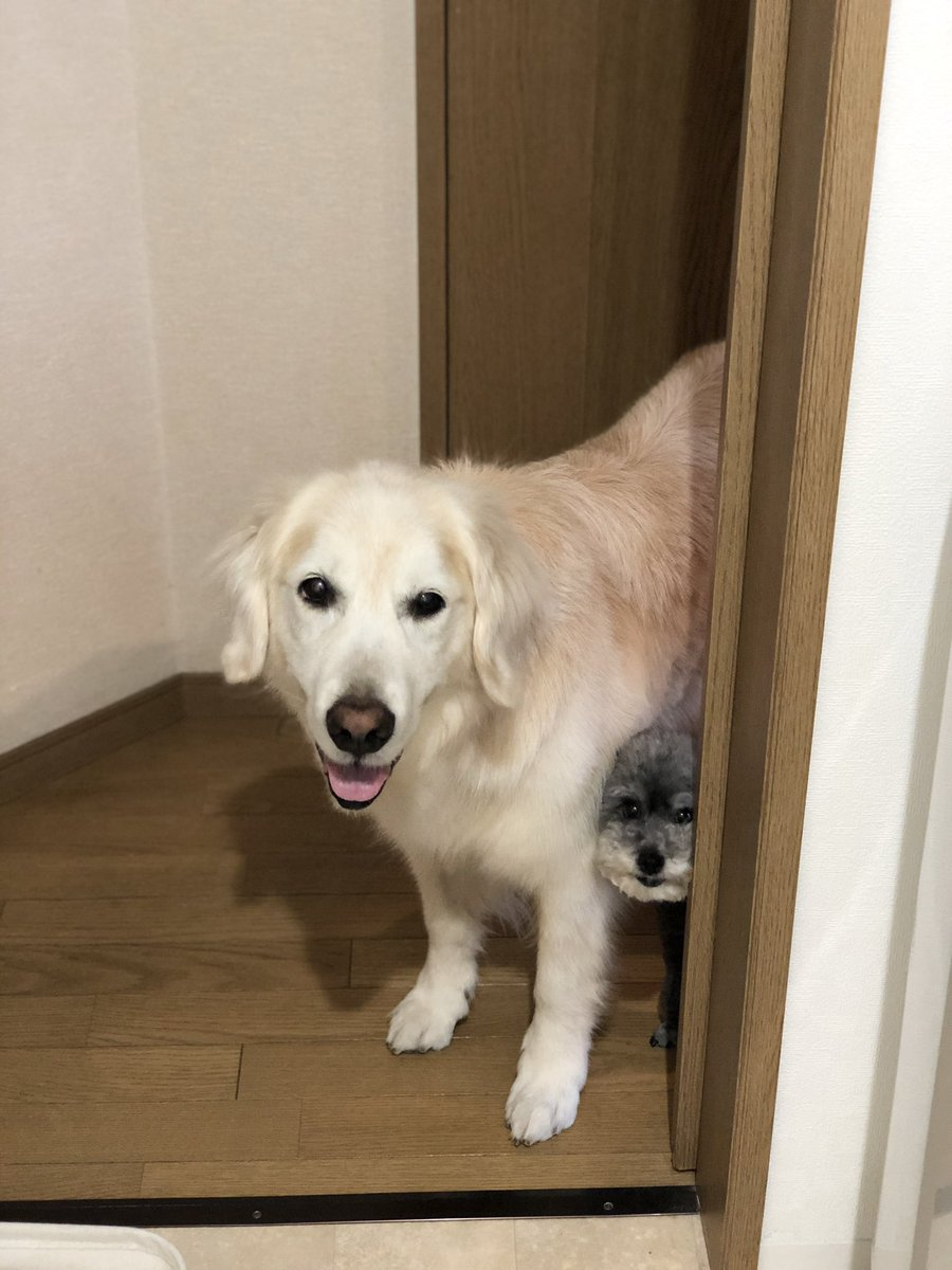 散歩を催促するために洗面所を見張るかわいい犬