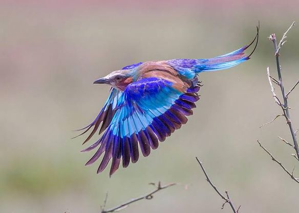 Are you a birder who is on the hunt for spectacular sightings of the Lilac-breasted roller? Visit Lake Mburo National Park and enjoy magnificent sightings of this bird species. https://t.co/hyCv0yTziL https://t.co/xysEdLhhiS #visituganda #pearlofafrica #ugandasafari https://t.co/5sIDjS4Xbk