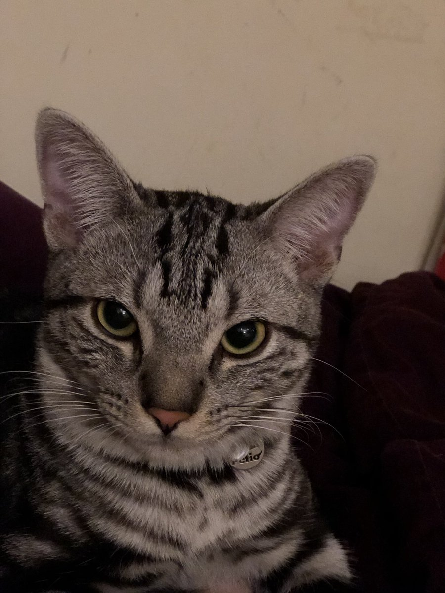 凛々しいね。 ご飯の事しか頭に無いとはとても見えないよ。  #猫のいる暮らし #猫好きさんと繋がりたい #ネコ #猫 #保護猫 #保護猫さんと暮らす #キジトラ #アメリカンショートヘア #アメショー #ベンガル #シルバーベンガル https://t.co/ado2RK8KAW
