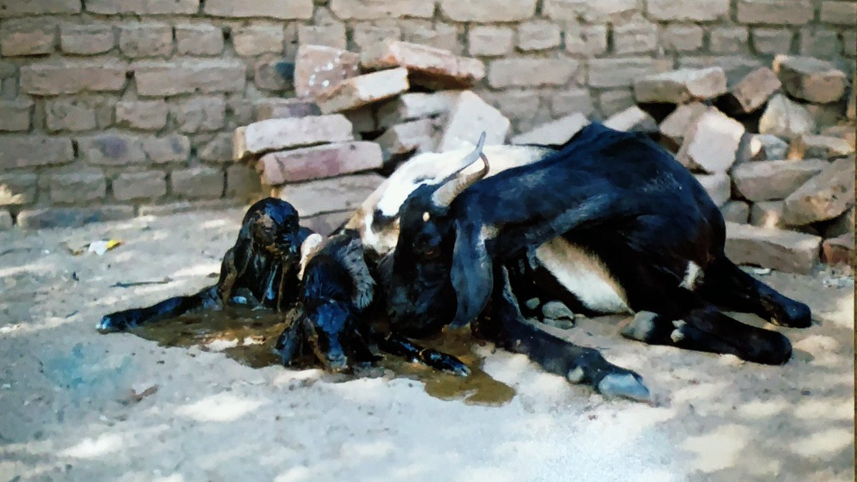 Vivid memories in Jabal Marrah of this goat 🐐 which had just given birth in an abandoned house - jinn indeed her only midwife! #Darfur #Sudan https://t.co/q59ecS8giX https://t.co/yJ2bW09CdZ
