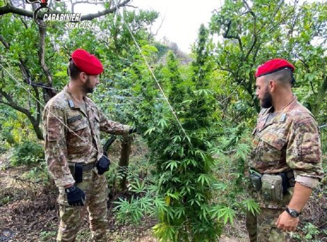 Piantagione di marijuana nascosta in un agrumeto, scovati due coltivatori - https://t.co/jAB6op5Axy #blogsicilianotizie