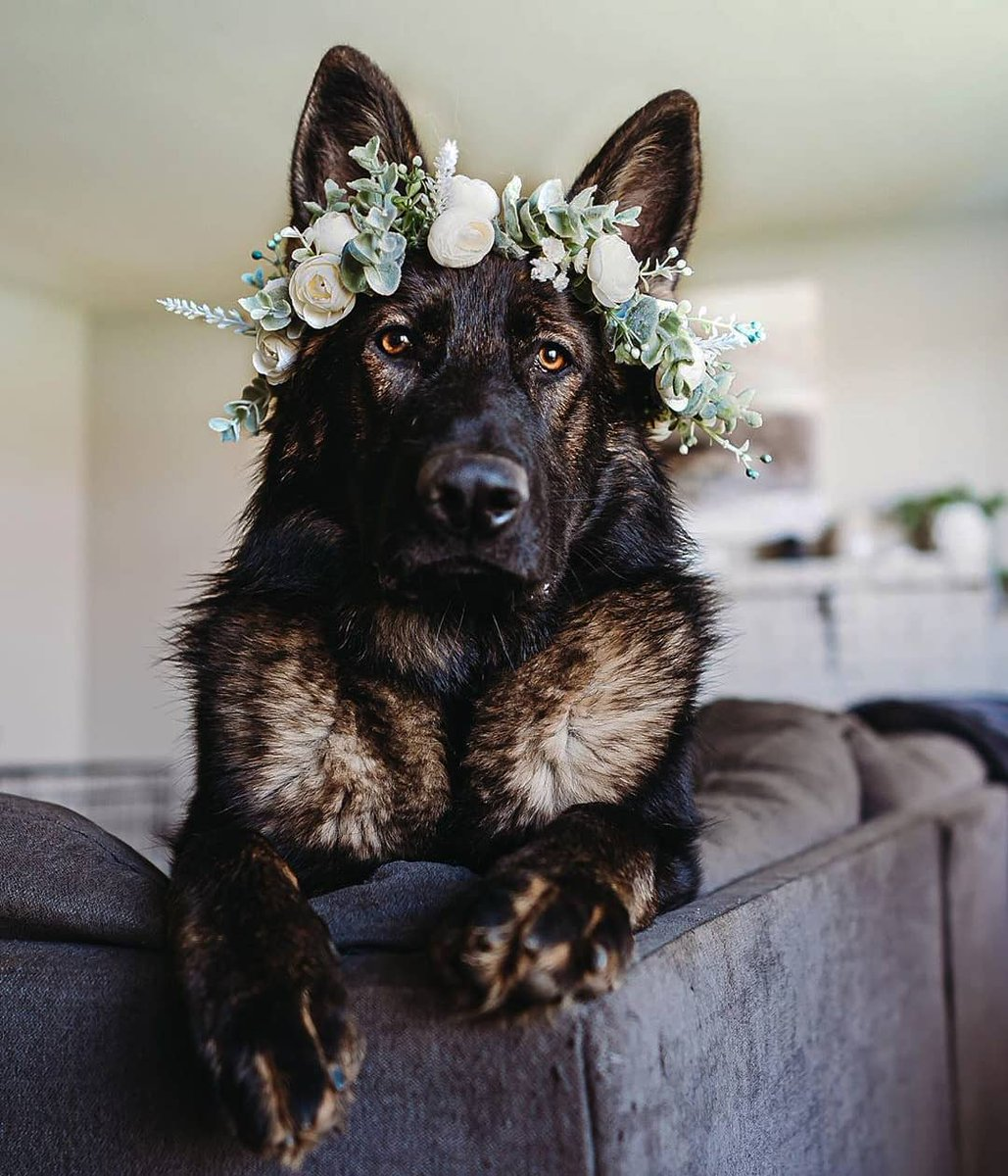😍😍😍😍😍😍😍😍😍😍😍😍  #gsd #germanshepherd #gsdofinstagram #dogsofinstagram #dog #puppyeyes https://t.co/A16Pv5FG0U