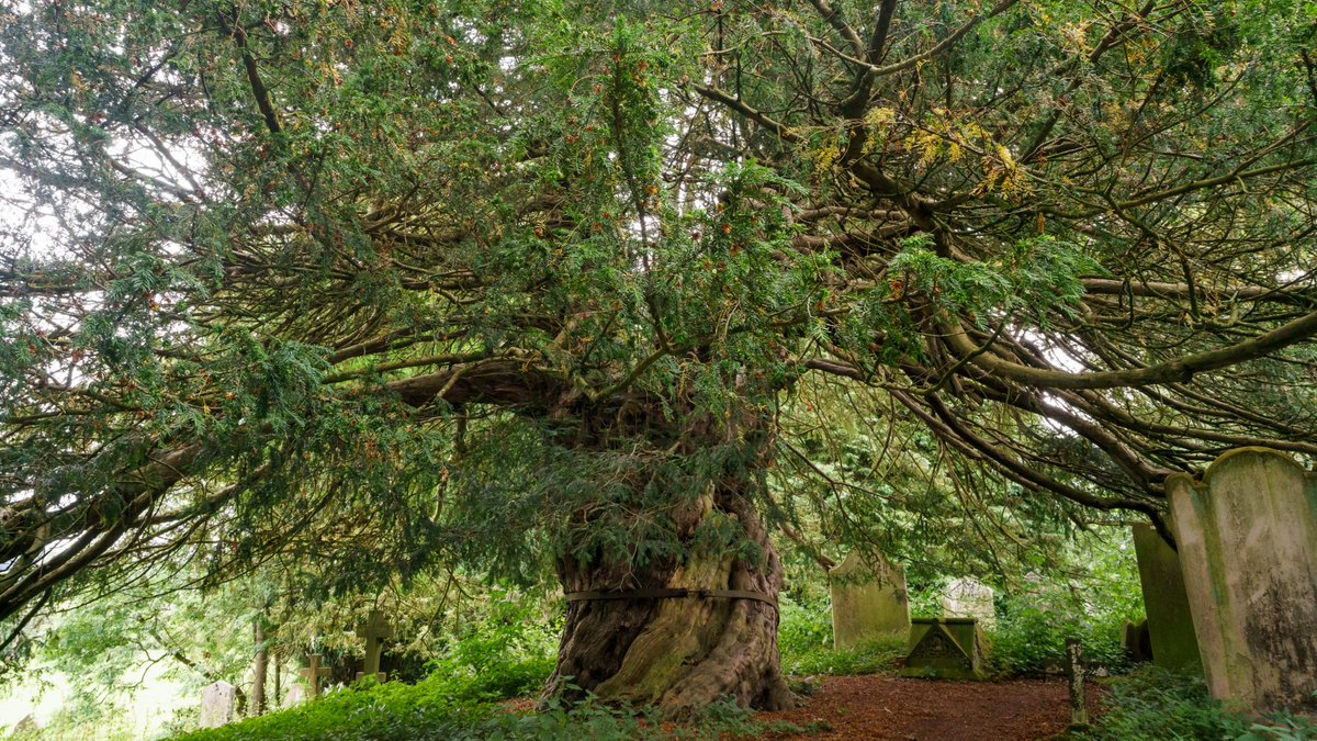 Vote for #Beltingham's Yew to be this year's @WoodlandTrust's #TreeoftheYear. Beltingham's ancient yew grows in the churchyard of St Cuthbert's church and local legend says that St Cuthbert preached beneath its branches. Voting closes at noon tomorrow https://t.co/yZ4D40u2qe https://t.co/uB13SuhVpX