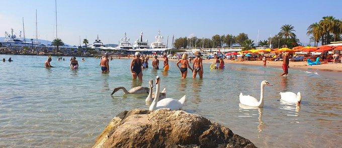 🦢 Une belle cohabitation sur les plages cannoises  ! 🦢  📷 @MireilleBoissy #CotedAzurFrance #insolite #summertime #Cannes @CannesIsYours https://t.co/KeJkIDYDs0
