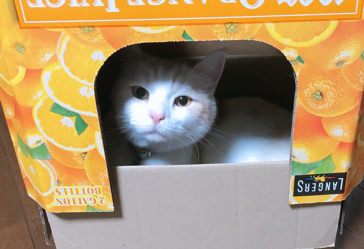 めっちゃ可愛い顔してる #猫好きさんと繋がりたい  #足長マンチカン #猫好きさん繋がりましょう https://t.co/5BPpo1JbJ5