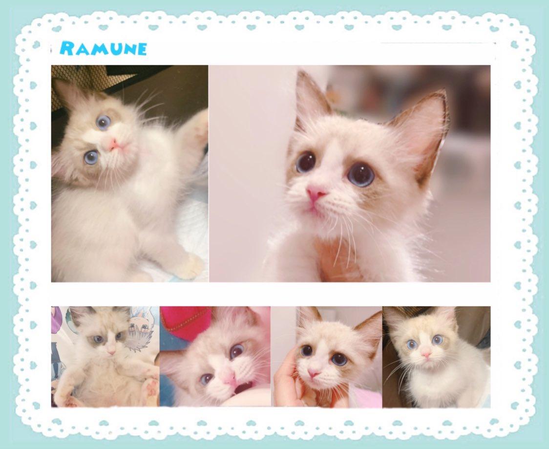 写真撮る手が止まらなくて、昨日家族に迎えたばかりなのにもう写真まとめちゃった〜🤦♀️💗💗溺愛とはこのことだな🥺  #猫好きさんと繋がりたい #ラグドール #子猫 #猫のいる暮らし https://t.co/RIpbK5cdAK