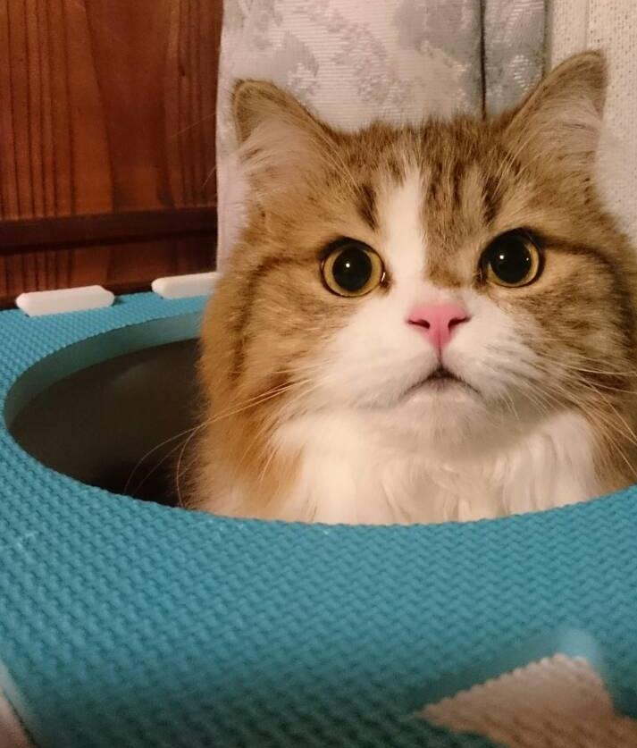 ニョキッ&ノールックパンチ!笑笑  #猫好きさんと繋がりたい #ねこ #マンチカン足長 #猫写真 https://t.co/TEBSGWYJwu