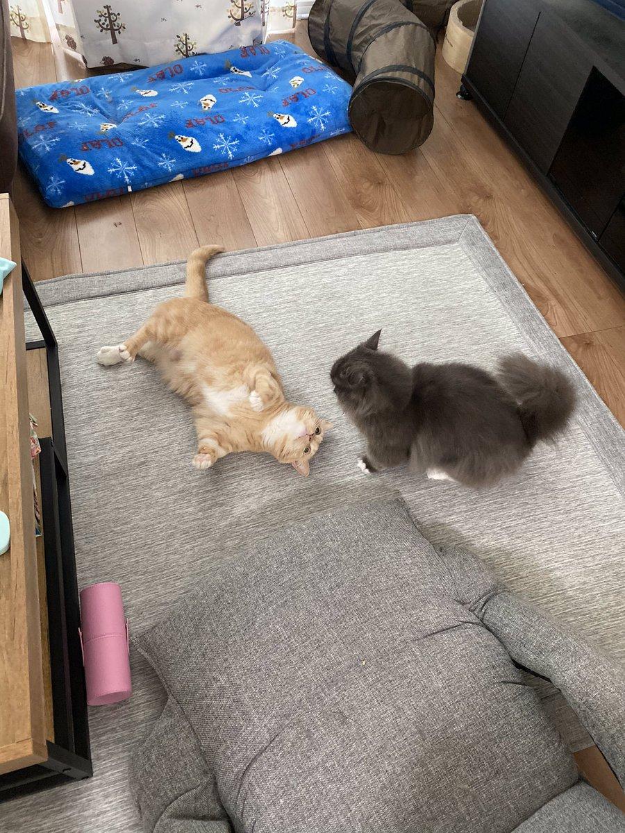 2ショットな猫 #猫 #猫好きさんと繋がりたい #マンチカン #ミヌエット #実は喧嘩中 https://t.co/b0FLmz0dkL