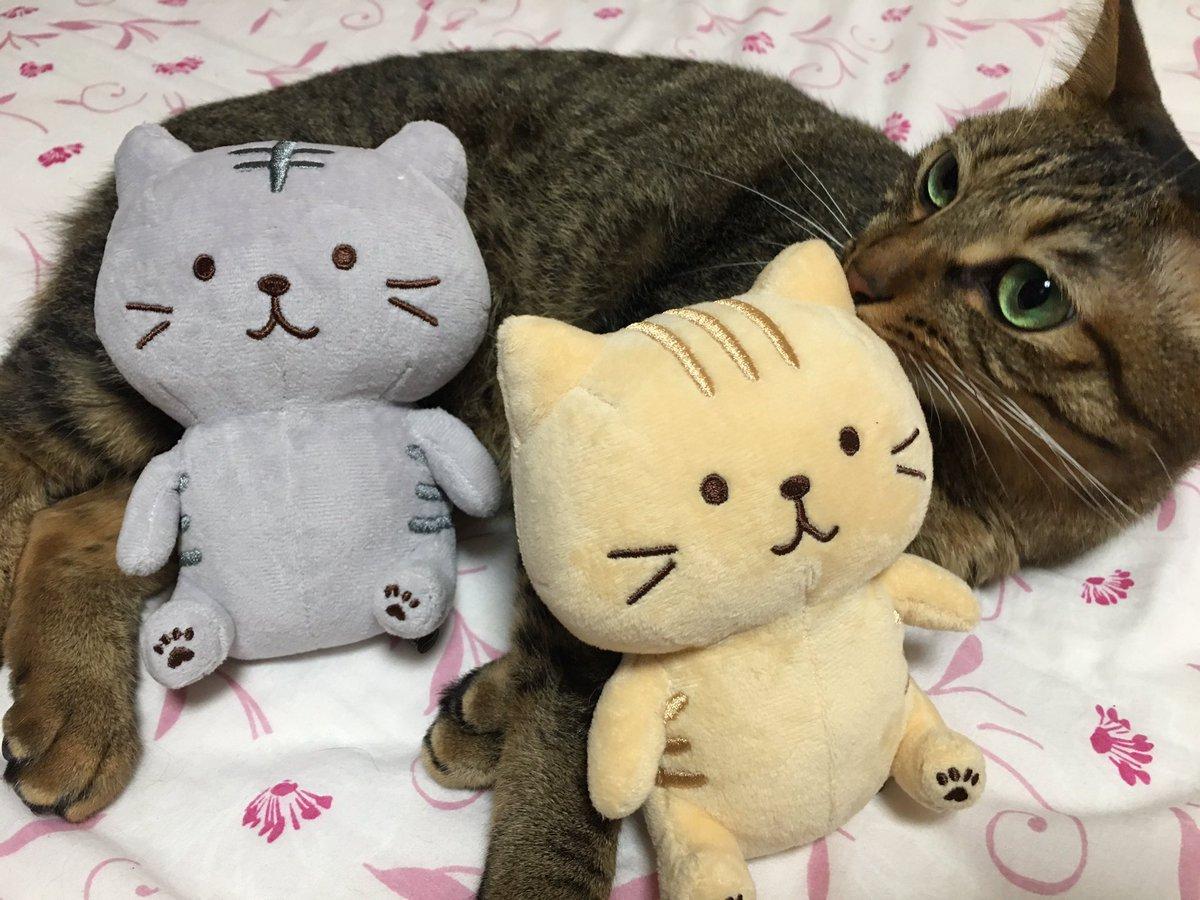 色が… 先代猫ルーク(グレー)と マークに似てたから 買っちゃった❣️  #猫カフェmfmf卒業生 #キジトラ https://t.co/4vF4a11NPl