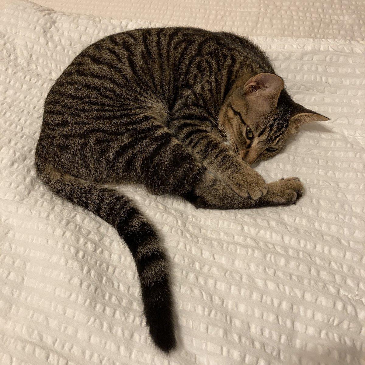 猫ほんと寝てばっかり #キジトラ  #キジ猫  #猫 https://t.co/5tRSgOf5E1