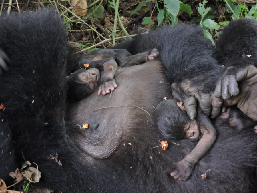 We're excited to announce that Gato from the Nyakamwe family has just given birth to twins!  @gorillacd #gorillasafaris #gorillatours #gorillatrekking #gorillas  #gorillaz  learn More - https://t.co/6M8bzcxO8E https://t.co/mqtMVTZhWq