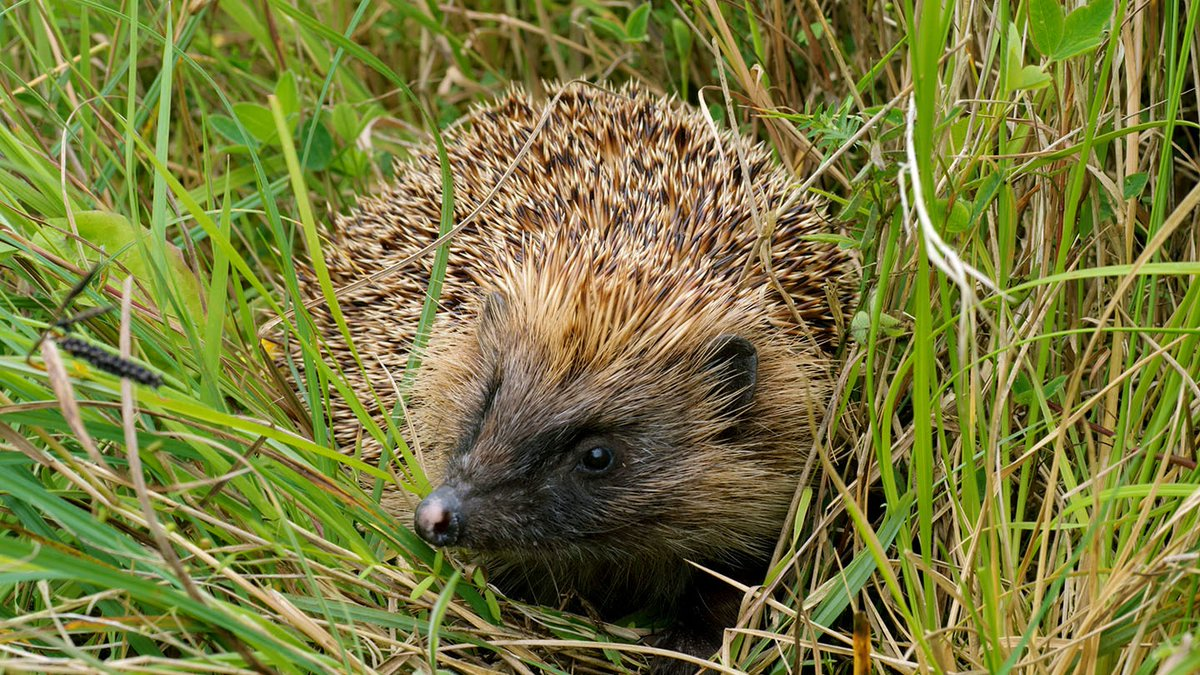 As temperatures start to fall, wildlife turns its attentions to surviving the winter. But where do #hedgehogs and other species go in the worst weather?🦔https://t.co/Q3UulXCgDB https://t.co/FPAJUSkhhn