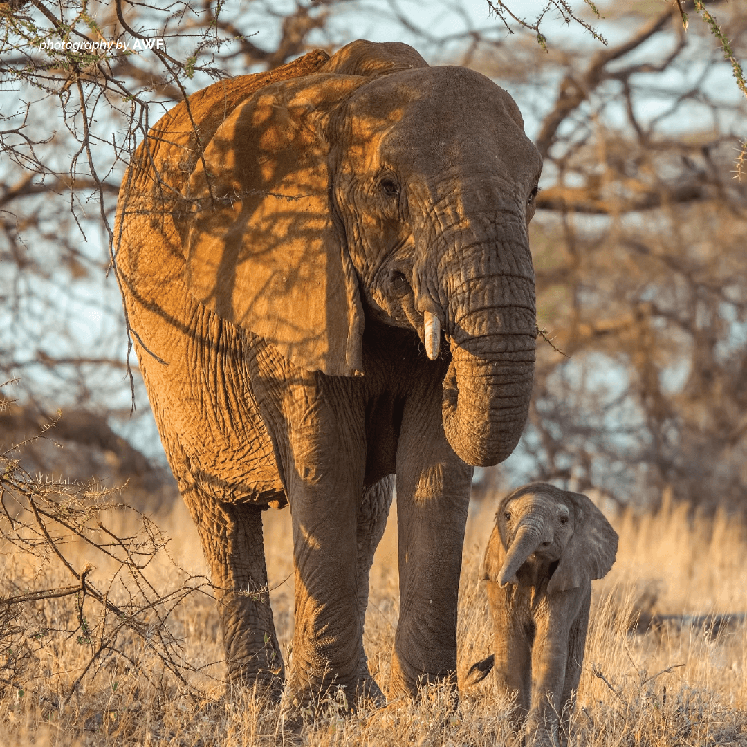 A baby elephant is called a calf. It weighs about 250 pounds (113 kg) at birth and stands about three feet tall. https://t.co/Qo41L7sOAe https://t.co/YQt8fItds5