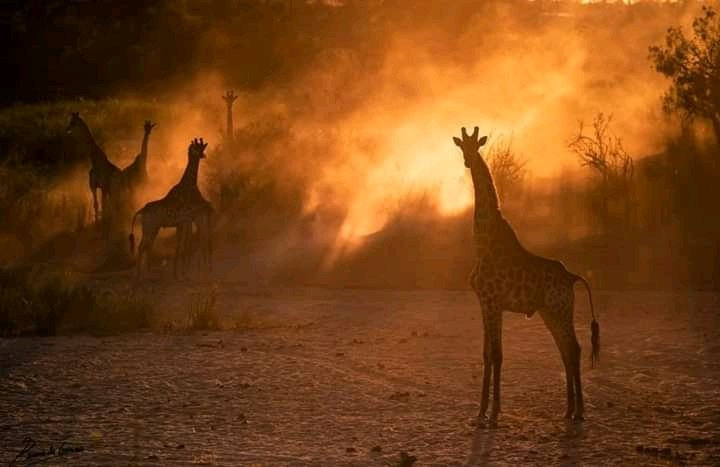 Dust, Sunset and giraffes all mixed together to create something unique and beautiful. #TourUganda +256703100426 https://t.co/n4r9DXwGdq