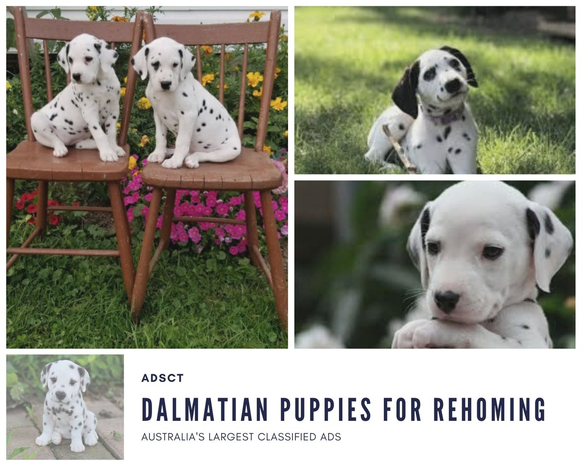 Dalmatian puppies for rehoming 🐕🦺 👇 https://t.co/2UTDdik8iZ #dalmatianpuppy #dalmatianlovers #dalmatianlove #dalmatians #dalmatiandog #dalmatian_pics #dalmatiansmile #dalmatianlover #dalmatianpuppyforsale #dalmatianpuppy❤️ https://t.co/DrpCl2T80a