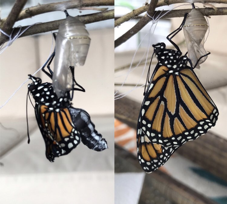 #UNCEmbryo2020 Look at this wing expansion! Imaginal discs are so cool! #monarchbutterfly https://t.co/gGaY9xgW1E