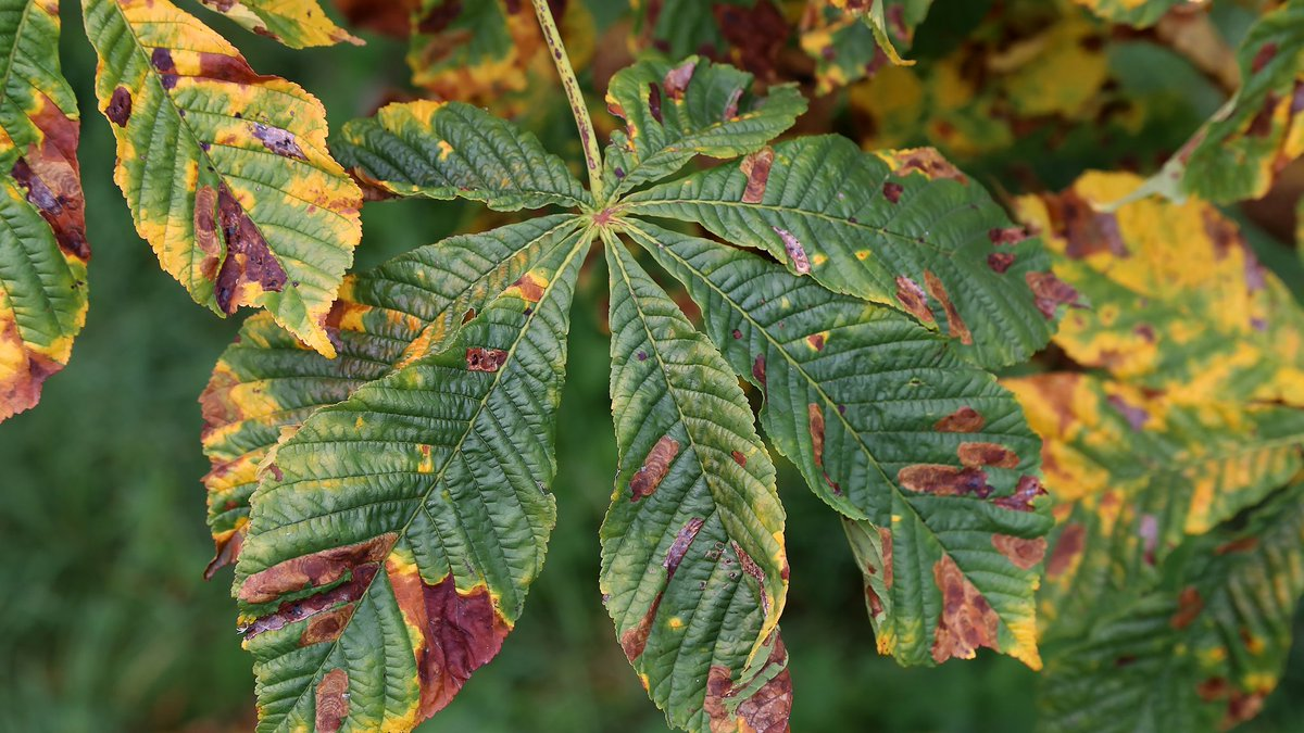 Have you noticed leaf damage or wilting on trees in your garden or local area?🤔 It could be caused by a tree disease or pest.   Find out with our guide: https://t.co/WhFpUBX1P6 #PlantHealthWeek #IYPH2020 https://t.co/alWiSnffPM