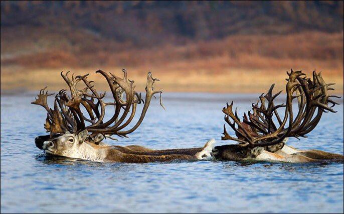 Swimming reindeer in Yakutia 📷 Alexander Krivoshapkin