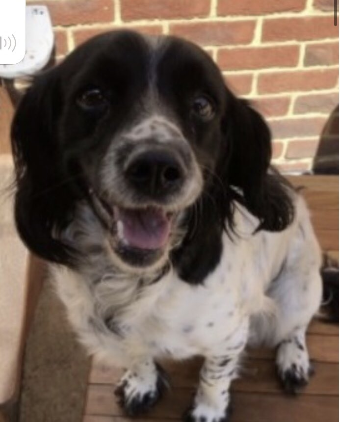 #SpanielHour JESS female #ESS Blk&wh adult 13/9/20 from #Wilden #Bedfordshire #MK44  🚨WHO ARE THESE PEOPLE IN THE PHOTO-POLICE NEED TO SPEAK TO THEM🚨taken with TIG & all other dogs in kennels that night  https://t.co/ZwBXi8Yzlo @bs2510 @juliagarland73 @petsarefound @ruthwill64 https://t.co/SkMNfSQyHB