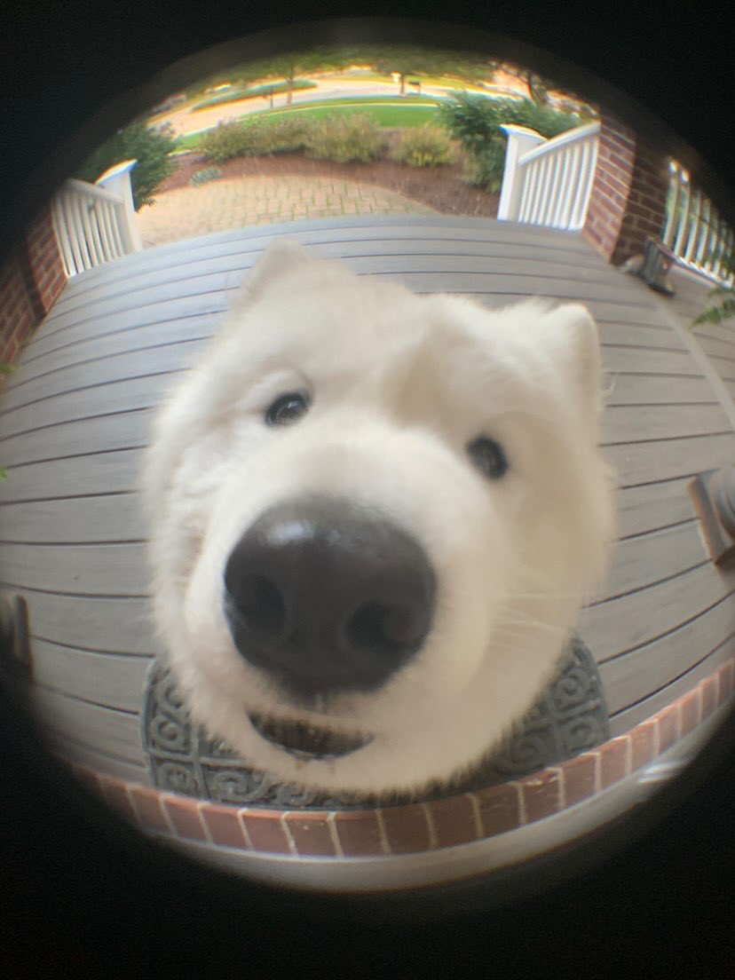 We only rate dogs. Please don't submit Suburban Porch Polar Bears. They mean no harm. Just a little hungry. Thank you... 13/10 https://t.co/AS9ybCN5z6