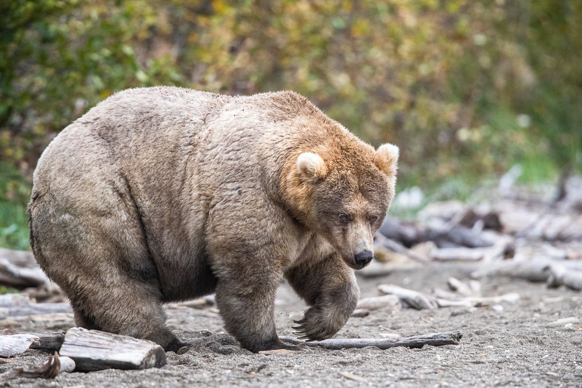 Are you ready for #FatBearWeek? Next week, @KatmaiNPS holds its annual competition so you can judge which chubby cubby takes this year's title. Pic of last year's winner: 435 Holly #Alaska https://t.co/eKjNAYYAJx