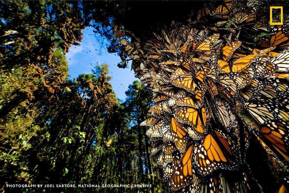 On calm days, the trees in Michoacán, Mexico, come alive with the fluttering of a few million monarchs https://t.co/wSykuh1zjm