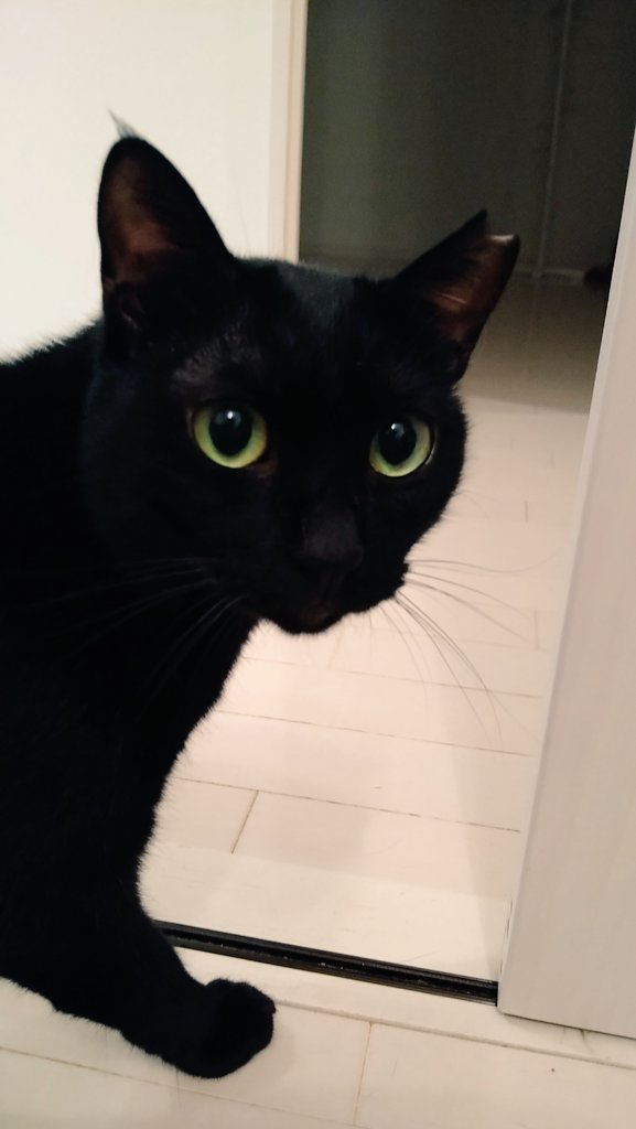 黒猫は里親が決まりにくい傾向にあると聞きます👂 なんと「SNS映えしない」という理由が多数とのこと💦 そこで黒猫に代わって申し上げます「承認欲求のために動物を飼うのはやめてね🙅♂黒猫は縁起が良いとされ幸せを呼びます🌿 温厚で誰とでも仲良くできるし、可愛い瞳が自慢です😽」 #動物愛護週間 https://t.co/yFeehTPi8o