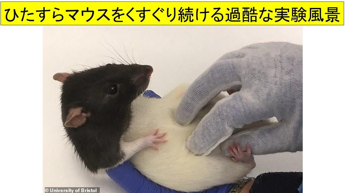 """マウスもくすぐられると「楽しくなって笑い声」をあげる。動物の""""感情を測定する""""実験により判明"""