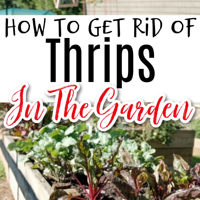 Thrips: What Are They & How To Get Rid Of Them  https://t.co/ZxpbSF9o6G #gardening4pleasure #organic #healthyfood #garden #gardening #mygarden #organicgarden #gardeningisfun #gardening101 #gardeningismytherapy https://t.co/Xe5YxiH6Zn