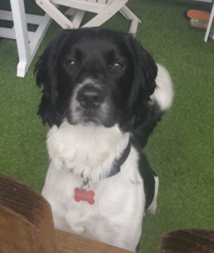 #SpanielHour TRIGGER is still not home despite pleas from family THEY'RE WORRIED ABOUT HIM Male #ESS BLK&WH adult  TRIGGER IS DUE APPOINTMENT AT VETS HE WAS POORLY - PLS BRING HIM HOME  https://t.co/oI7bZ7U6No #Pollards #MapleCross #Hertfordshire  @bs2510 @MolliePug @blacklab115 https://t.co/RUy4IdS9ot