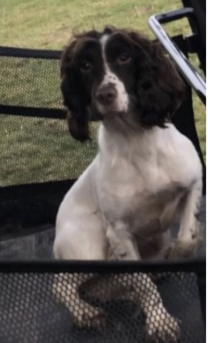 #SpanielHour SPANIEL 3 - NAME WITHHELD female #ESS white&liver  ‼️‼️STOLEN‼️‼️14/5/20 with 2 others (one was found) #Brightling #TN32  #SussexPolice investigating  https://t.co/RoiYmoLI6P  @bs2510 @gelert01 @ChrstinaKelly @PcsharonPage @RachaelB100 @molliepug2 @WaterhousePat https://t.co/2oNDgHPlua