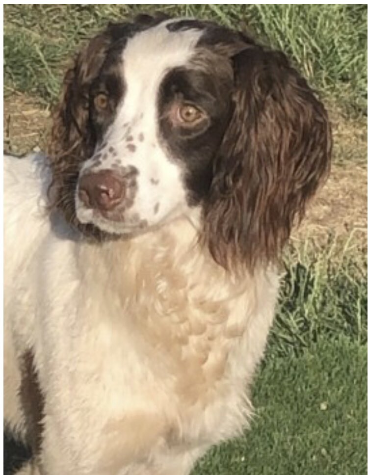MY NAMES POPPY - I was taken with my sisters from our bed in #Smarden 15/7/20 can you help us please.we're not used to being away from our family & are really scared #TN27 white&liver/female young adult #SpanielHour #ESS #stolenspaniel  https://t.co/rUPD5rA5yo @gelert01 @bs2510 https://t.co/gBw2rDnrGp