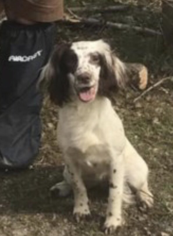 JESS TAKEN INTO THE UNKNOWN WHILE DUE PUPS...imagine how scared she must of been without her family 😖Did her babies survive? Is she ok? Did she see a vet? ‼️STOLEN‼️liver&white DISTINCTIVE #ESS adult #SpanielHour #Smarden 16/7/20 #pups due 25/7 🆘🆘🆘 https://t.co/KdtItNtkaS https://t.co/GIPOoB4Ib3