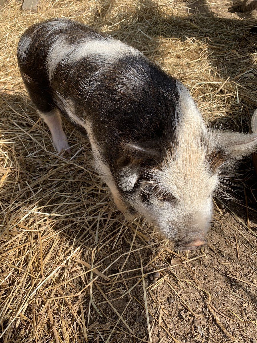 i started volunteering at the horse rescue i worked at as a kid again!! meet squeaky the pig, i had to carry her today and she scratched my arm https://t.co/57WGyOX7Uc