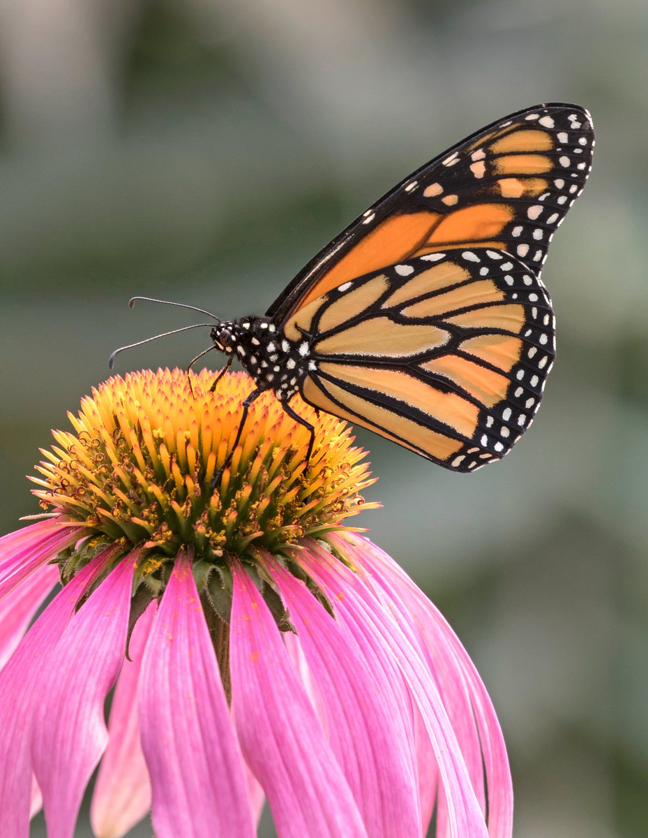 There are things you can do to make your yard a safe haven for all sorts of native butterflies and pollinators. The most important actions are to reduce or eliminate any use of pesticides in your garden and remember to plant lots of native trees, shrubs and flowers. #SAFEMonarchs https://t.co/wTaN0wHz22