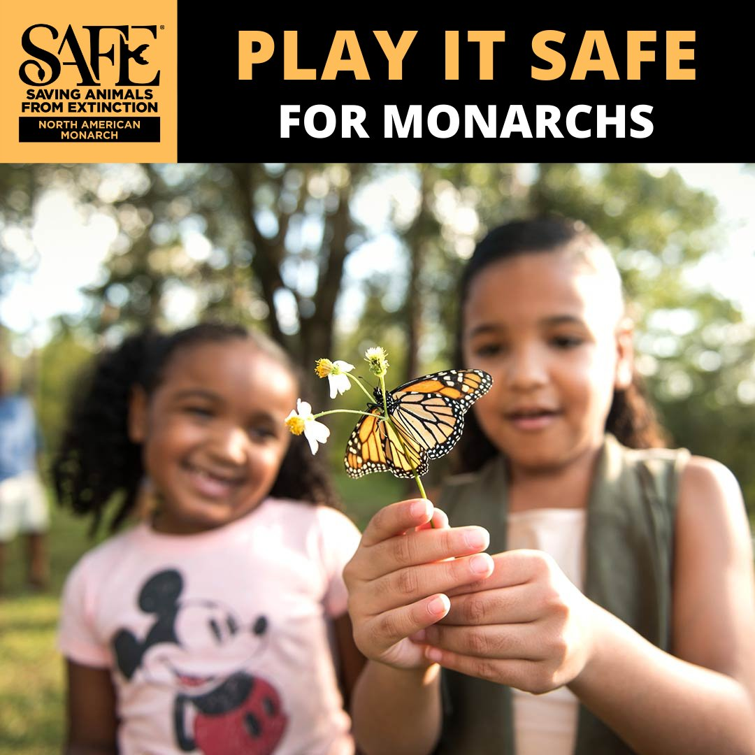 As a species, monarchs are in trouble due to habitat loss, pesticide use and global climate change.  We're proud to flap our wings for the @zoos_aquariums SAFE program for American Monarchs. 🦋🦋🦋 #PlayitSAFE #SAFEMonarchs #SavingSpecies #SAFEMonarchNetwork https://t.co/CiGUKGY19Q