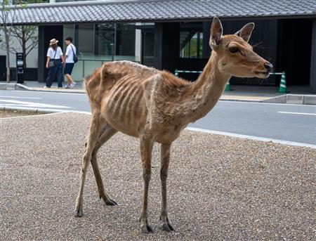 【コロナ禍】「鹿せんべい依存症」のシカ、観光客減でやせ細る 奈良専門家は「人から餌をもらって食べるのが当たり前になって、環境の変化に適応できないのかもしれない」と推測している。