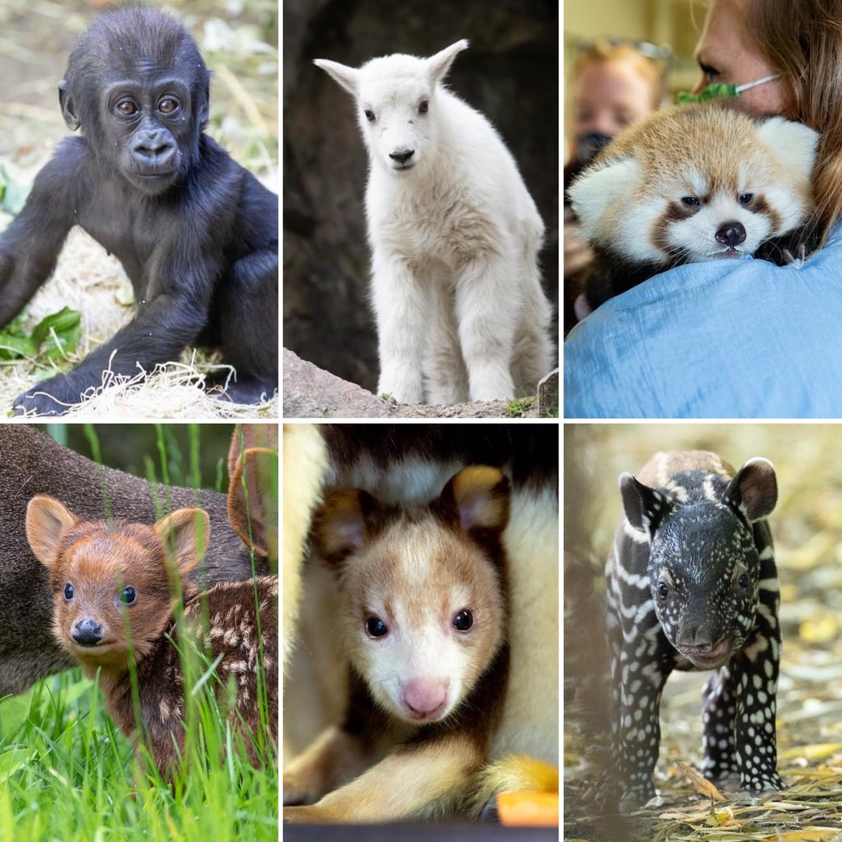 Which one would you be? Kitoko, Luna, Tian, Chile, Keweng or Sempurna? 💕  We will always be All for Animals with you by our side – join us on Giving Day to support your zoo. Early giving starts today! https://t.co/6lvZDk7sQR https://t.co/v8w20wx1s3