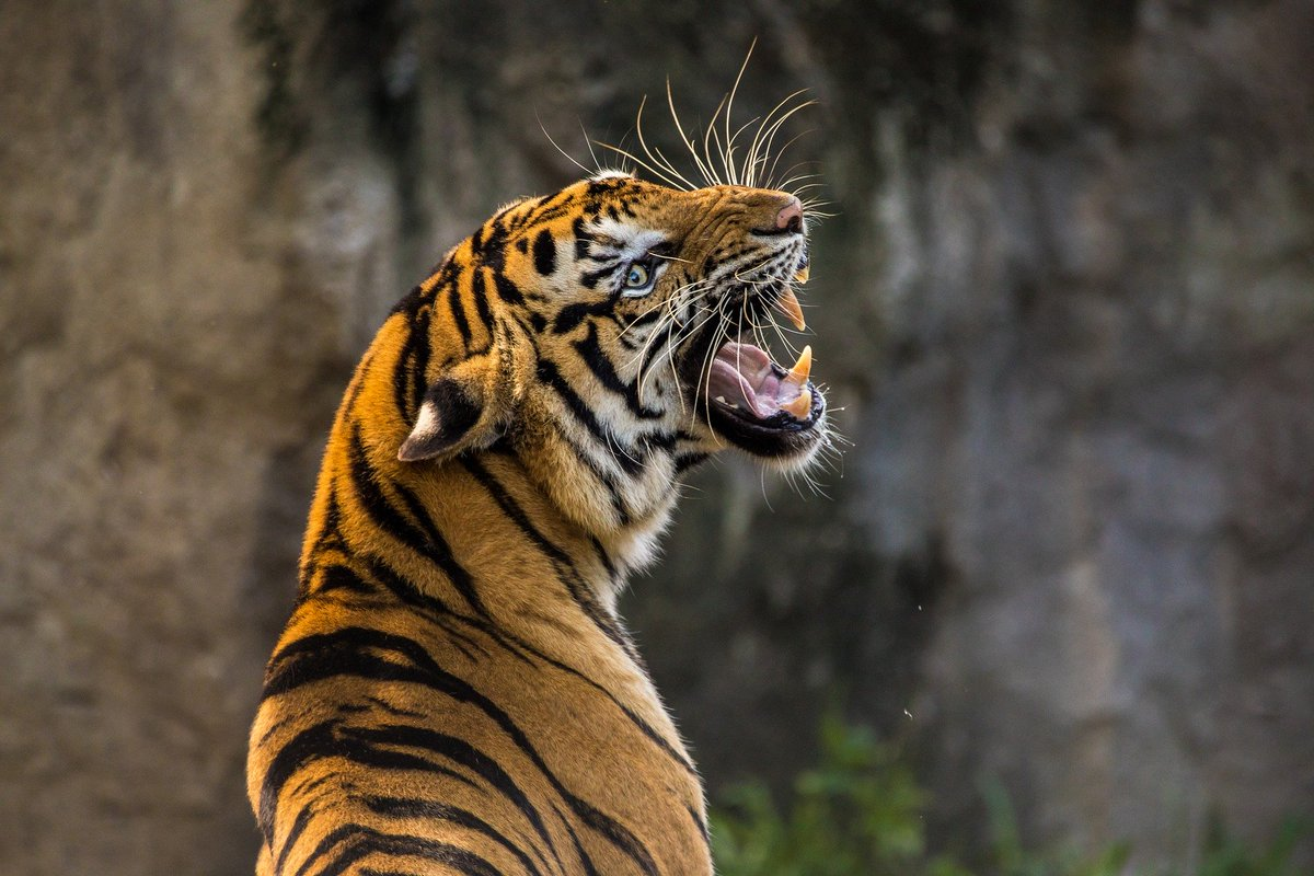 How do tigers hunt?: https://t.co/UH3P3nOA71 #AskHIW #ThursdayThoughts #Science #animalkingdom   ➡️Get 5 issues of How It Works for £5: https://t.co/tYUL46WBin https://t.co/KfhgHCBRkf