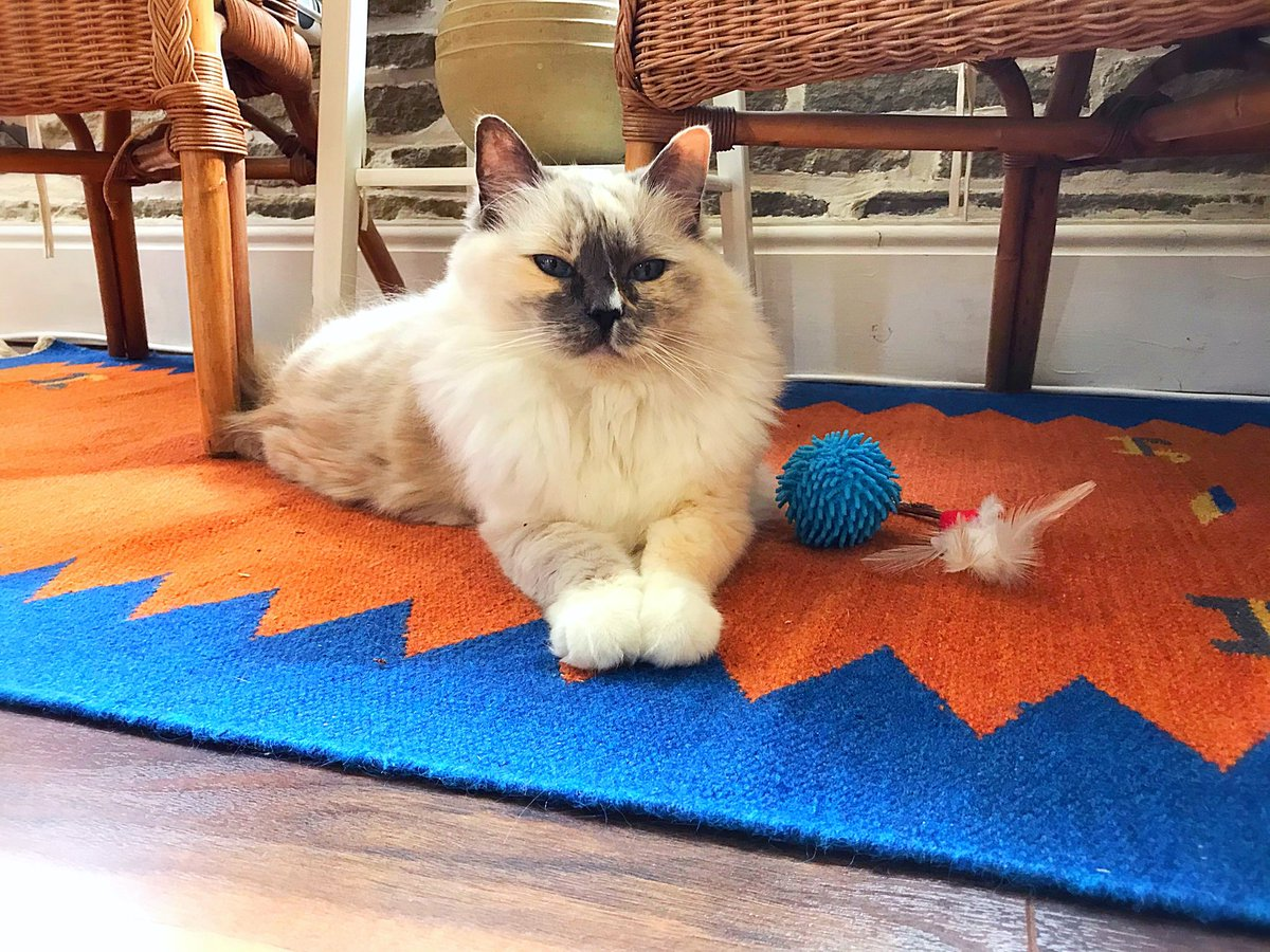 Welcome to #FluffyFursday 💖😻💖 who wants to play?! 🐾 https://t.co/FWXoDYeZKy