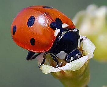 » Die fliegende Haarspange: Der Marienkäfer  https://t.co/e6Cl7oM32n  Marienkäfer sind beliebte Insekten. Die putzigen Kerlchen sind in der Natur allgegenwärtig, allerdings auch in Spielwarenläden und Andenken-Shops  #wissen https://t.co/7YkAHcUfcK