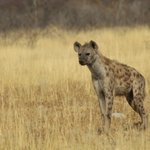 Image for the Tweet beginning: Did you know? Hyaenas have