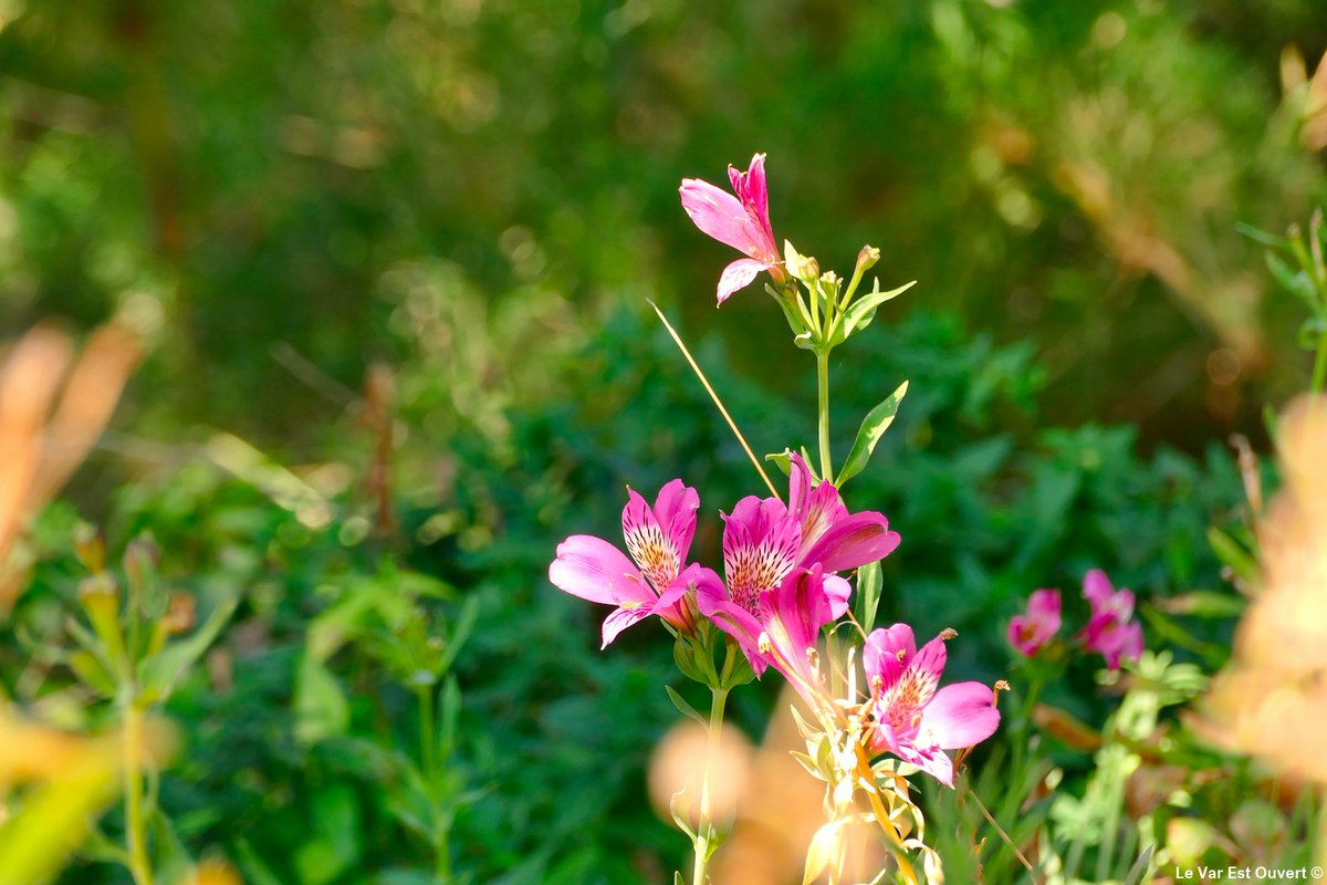 . M E R V E I L L E S . . .  . 📍 : @domainedurayol  . 🌸 : Lys (?) . #Photography #Flowers #Fleurs #Colors #nature #DOMAINEDURAYOL #rayolcanadel #golfedesttropez #jardin #méditerranée https://t.co/iUUHiQjn3R