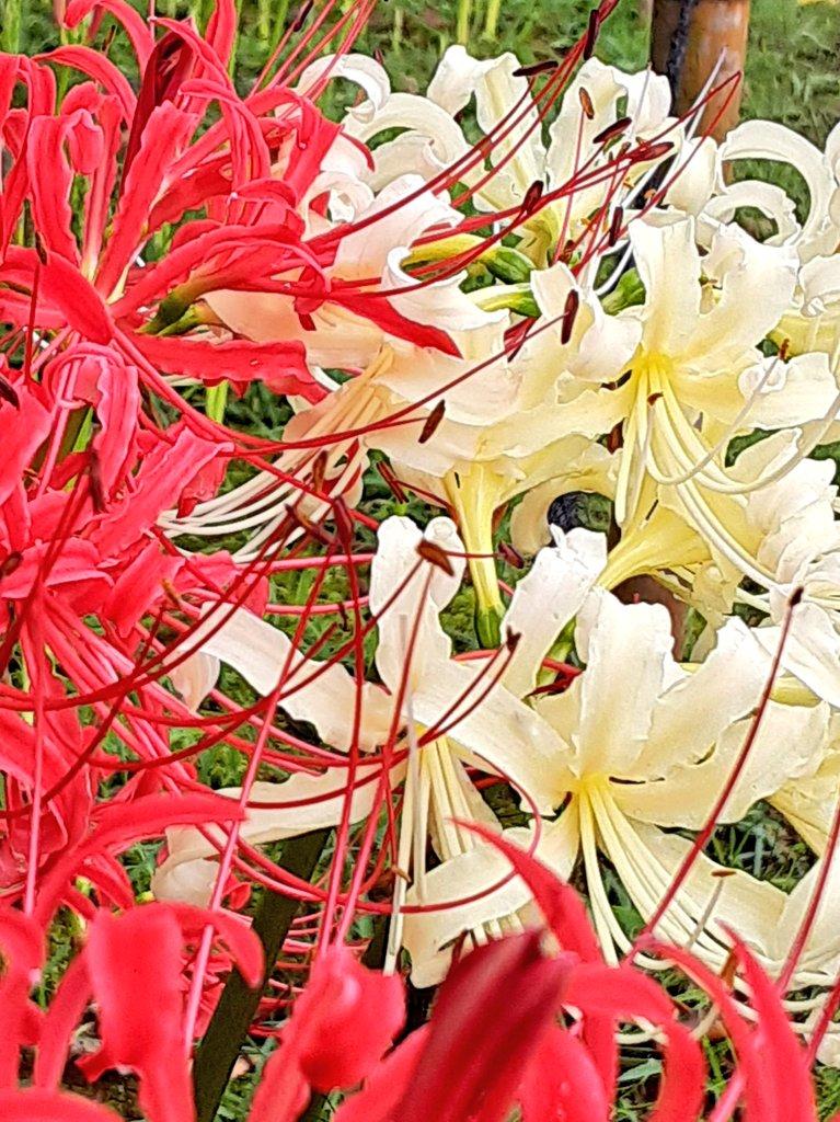 紅白花合戦😆 めでたいね、紅白✨#彼岸花 #秋散歩 #紅白 https://t.co/CtJxA8jsz9