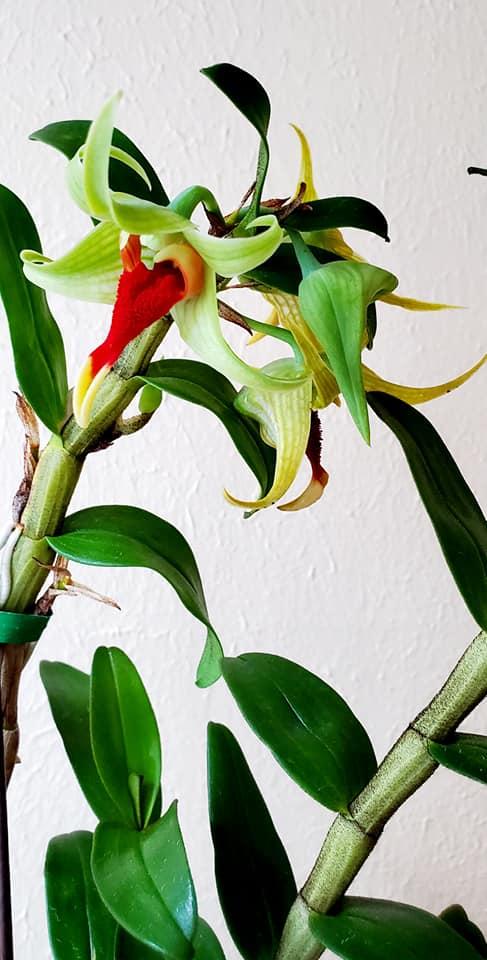 September 24th #orchid of the day: Dendrobium Hsinying Tobazuki (Den. suzukii x Den. tobaense) X Den. tobaense var.giganteum. So, this is ¾ tobaense and ¼ suzukii. I found this yesterday at my local garden center. Great price, too— $14! (The 3rd pic is of parent Den. suzukii.) https://t.co/n8djVaVxqO