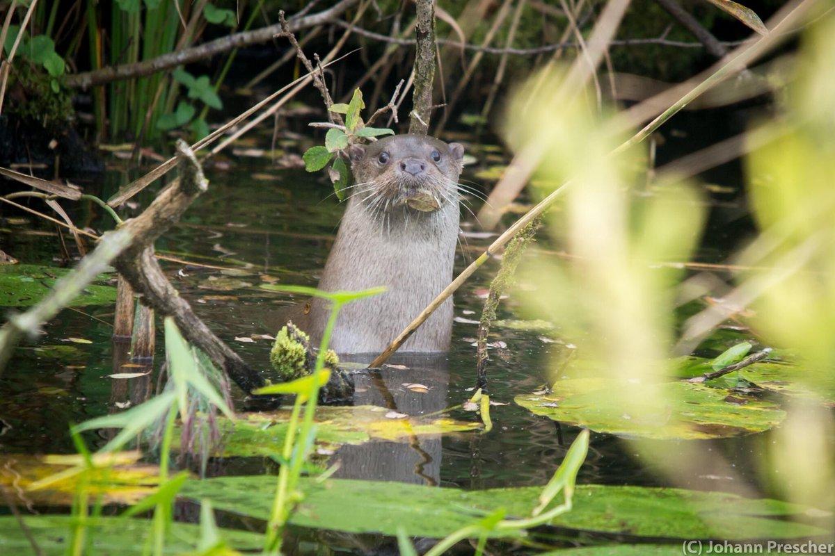Deze #otter nam zo te zien een blad voor de mond. Samen met haar twee jongen was ze gister actief in ons gebied. De jongen stoeiend om een smakelijke #rivierkreeft en moeder die een oogje in het zeil hield. #dewieden #natuurmonumenten #geluksmoment @Natuurmonument @BCDeWieden https://t.co/1BHnXHI8Hu