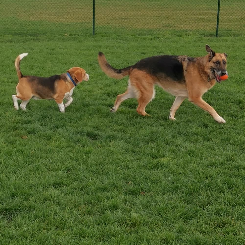 This #beagle was trying to copy me at the park today...i think he wanted to be a #germanshepherd  . . . #goodmorningzara  #germanshepherdsofaustralia #germanshepherdsofinstagram #gsd #dog #dogsofinstagram #instashepherd #instadog #schäferhund #pastoralem… https://t.co/6oeFjUMIQm https://t.co/irlD8qCr8E