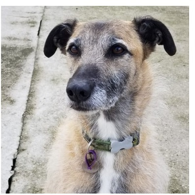 Dodger 8 yr old male Lurcher,  he's looking for an adult only  home with someone who  understands rescue dogs, no  visiting children and as only pet,  he is very loyal and affectionate,  he is with  @Freshfieldsresc UK all info here https://t.co/NLknQt4QN5   #forgottensoulshour https://t.co/YPyNt4WDRO