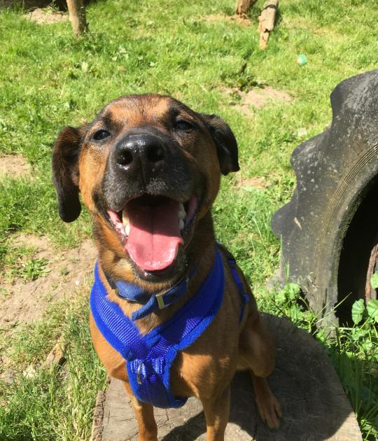 Fudge is a 6 yr old male  crossbreed, he has been waiting a  few years for a new home, he  needs to live with just 1 or 2 adults, no pets/children and no visitors, he is with @NAWT_updates , all info here https://t.co/3pVxzGt2zF #forgottensoulshour https://t.co/gICw11qTdP