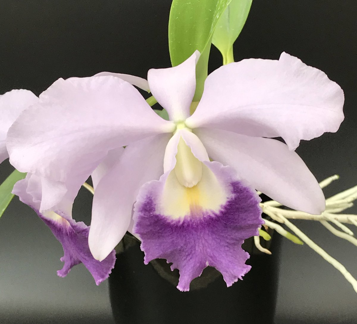This Laeliocattleya Mini Purple x Cattleya labiata 'Blue x Blue' reminds us of a dog with her ears back!  The blooms are huge and sweetly fragrant. #orchids #flowers #asheville #apptropicals #wnc #orchid #houseplants #avl #orchidnursery #weship https://t.co/v0H4QXOH2S